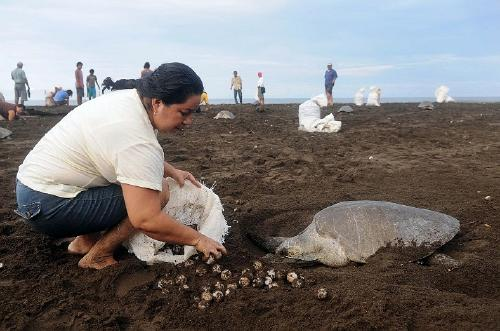 Turtle Poaching in Costa Rica 1