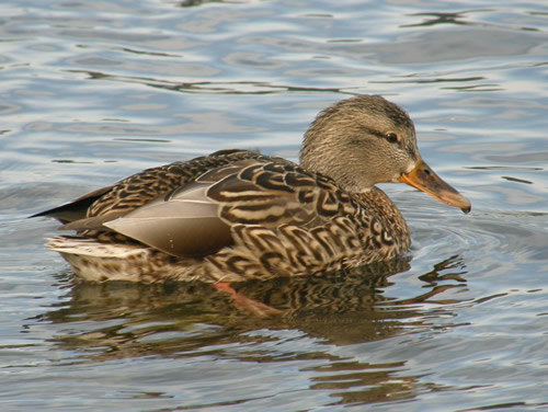 female mallard in the water