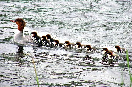 merganser mother chicks