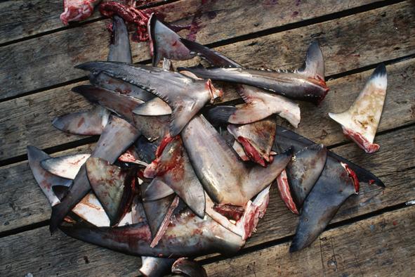 shark finning costa rica 1