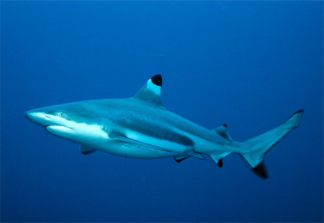 black tip reef shark cocos island 1