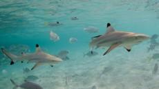 black tip reef shark cocos island