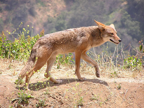 coyote california