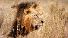 Walter-James-Palmer-DDS-cecil-lion 1