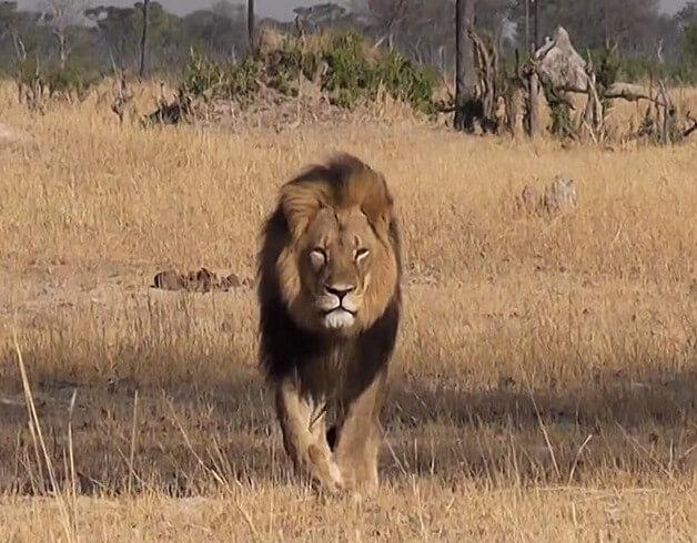 Walter-James-Palmer-DDS-cecil-lion 2