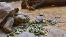 80 year old turtle has babies