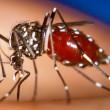 Chikungunya virus mosquito