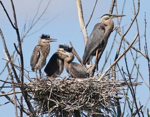 Great blue herons knowledge to young