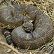 Rattlesnake Dick Barter main