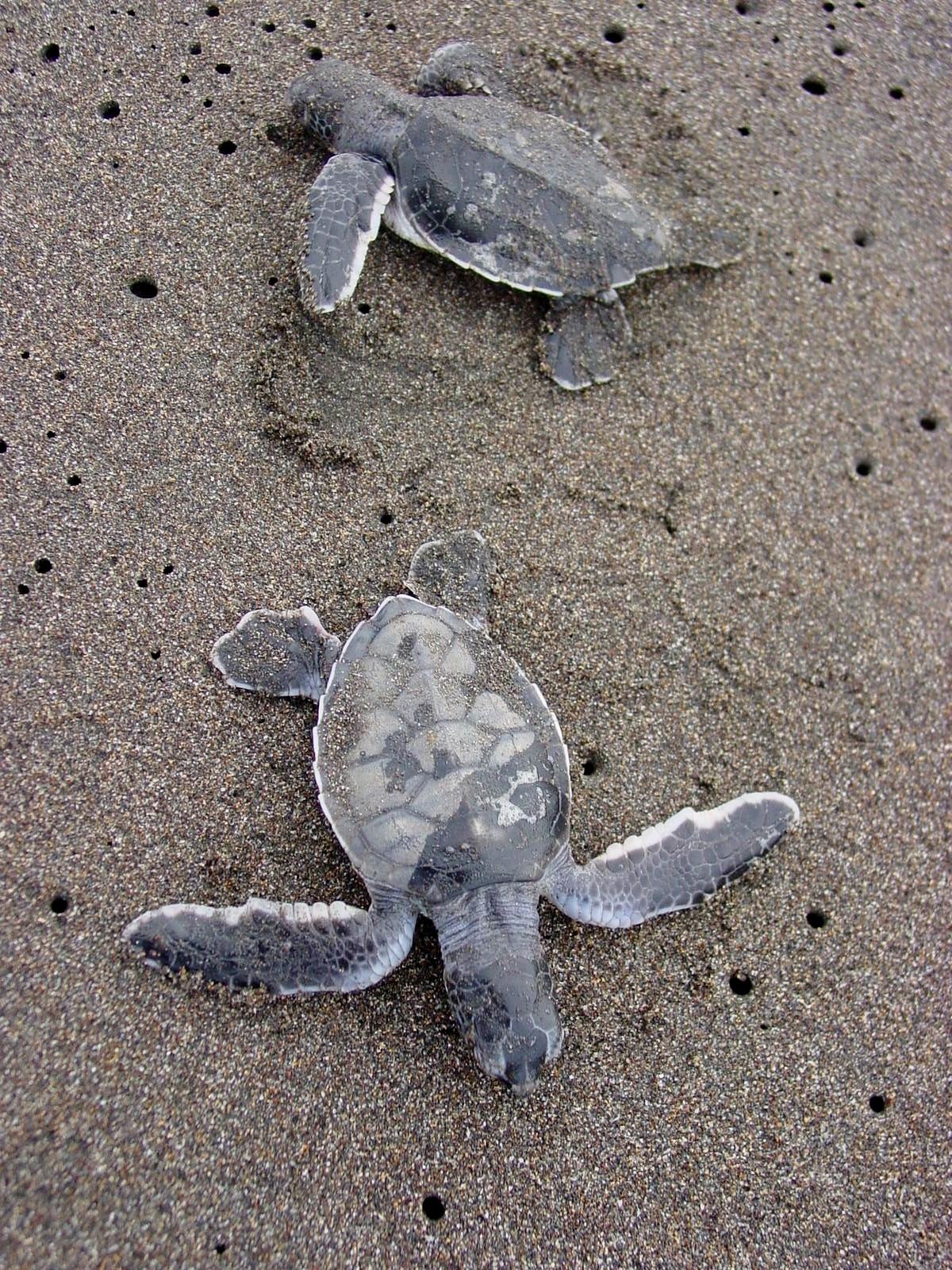 Tortuguero sea turtles costa rica 1