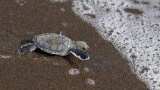 Tortuguero sea turtles costa rica main