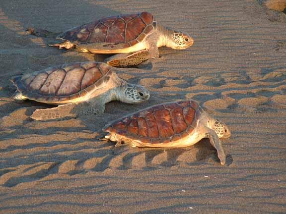 Tortuguero sea turtles costa rica