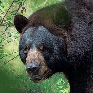 black bear scoutmaster