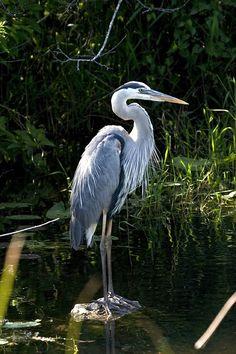 blue heron meditations