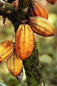 colorado-couple-cacao-costa-rica