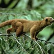 Kinkajou on Tree Branch