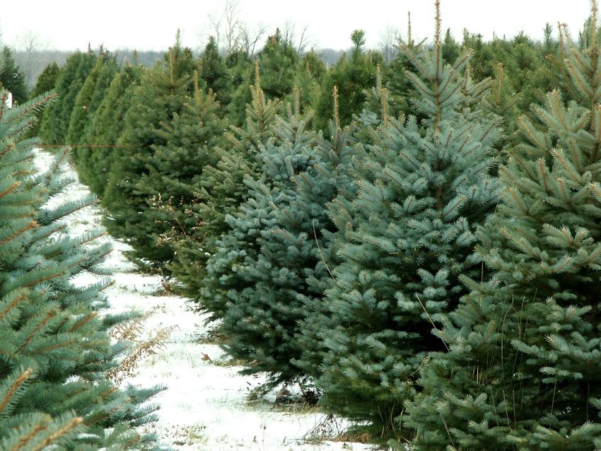 costa-rica-christmas-trees
