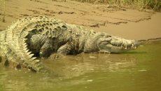 costa rica crocodile attacks
