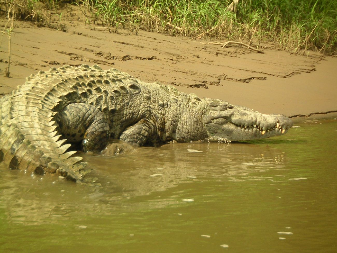 costa rica crocodile attacks