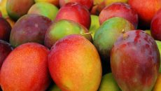 costa rica mango