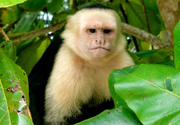costa rica monkeys justin bieber