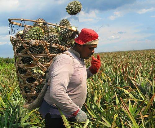 costa-rica-pineapple-1