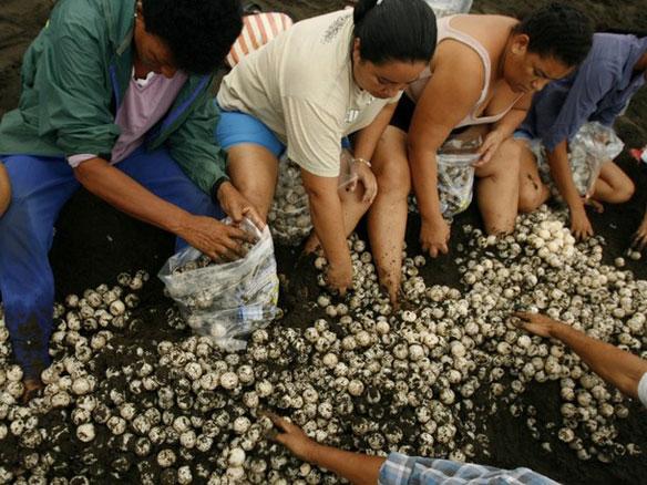 costa rica turtle egg poaching