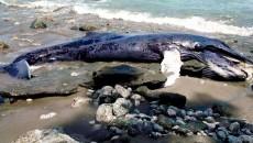 dead whale costa rica