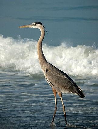 great_blue_heron