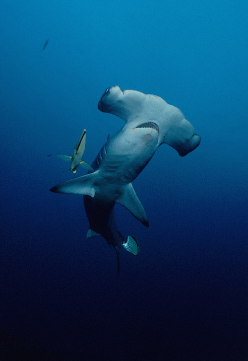hammerhead sharks shark finning costa rica 1