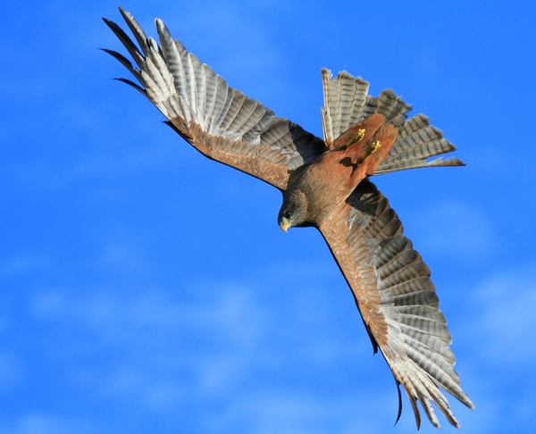 kite falcon