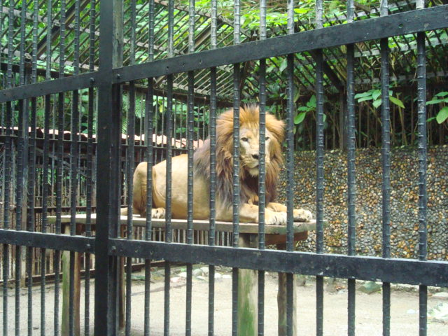 kivu-the-lion-costa-rica