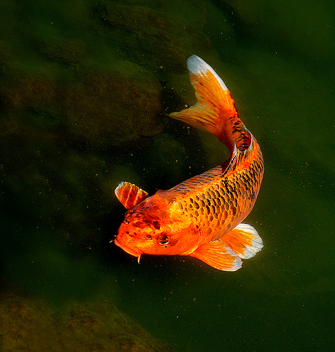 Legends of the koi fish the costa rican times for Koi fish images