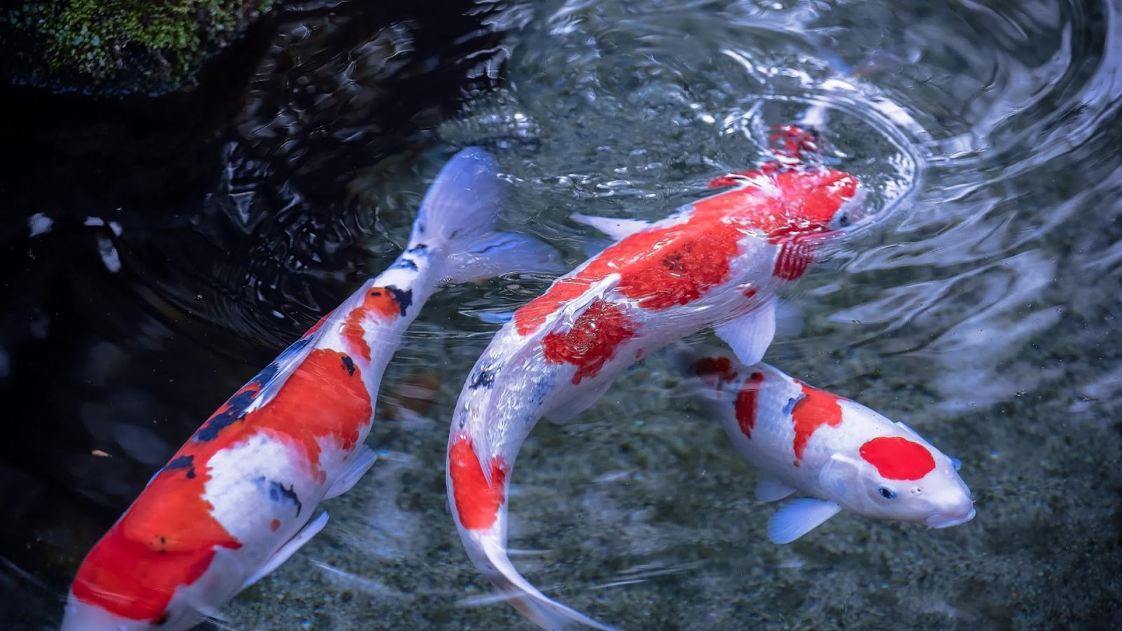 Legends of the koi fish the costa rican times for Blue and orange koi fish