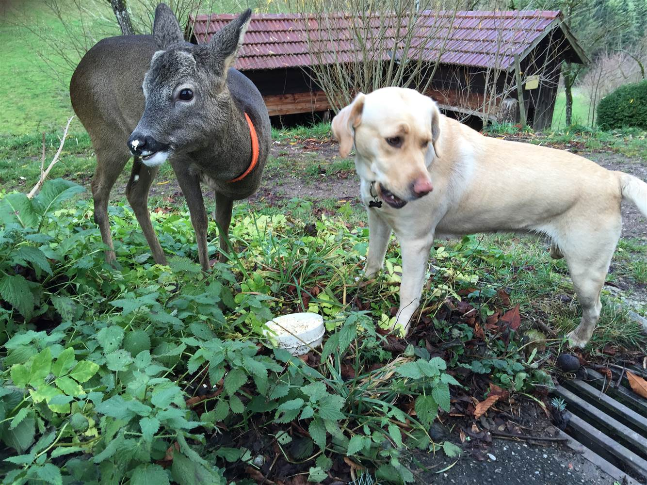 labrador and deer friendship