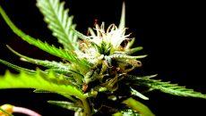 legal marijuana canada main