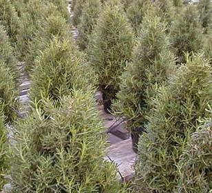 live christmas trees costa rica 1