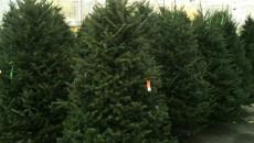live christmas trees costa rica