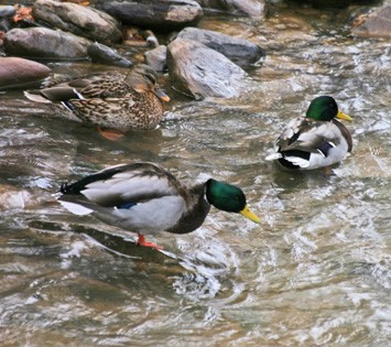 mallards in the stream 1