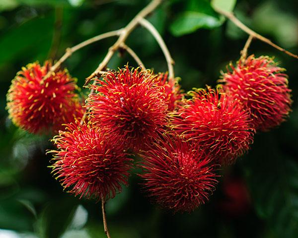 mamon-fruit-costa-rica