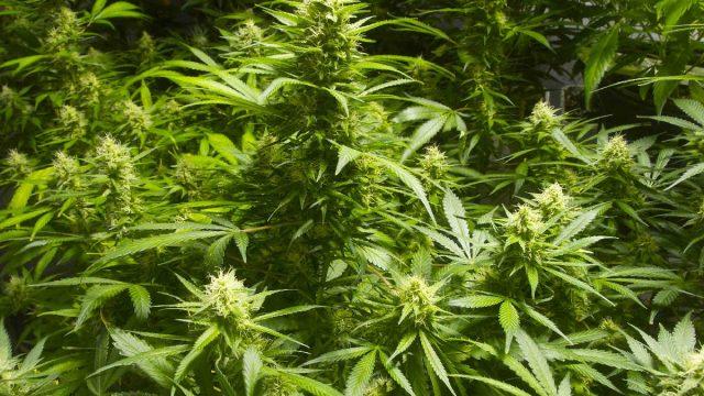 marijuana-plants costa rica