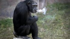 monkey-that-smokes-main