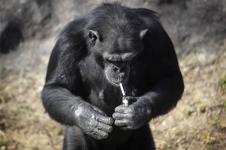 monkey-that-smokes