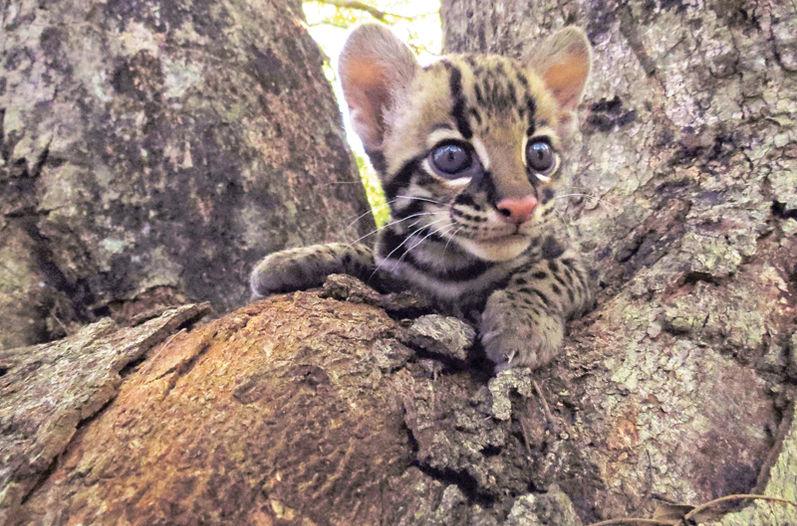ocelot costa rica animal rescue