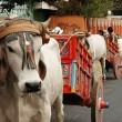oxen parade costa rica