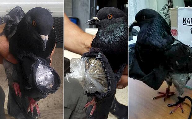 pigeon drug dealer costa rica