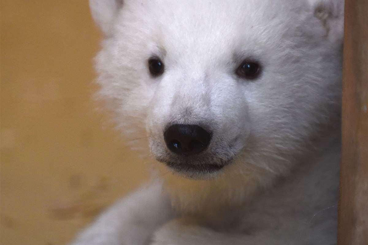polar bear pictures