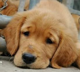 Why Do Puppies Cry The Costa Rican Times