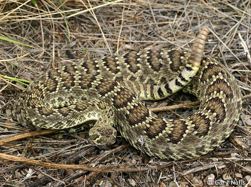 rattle snake california