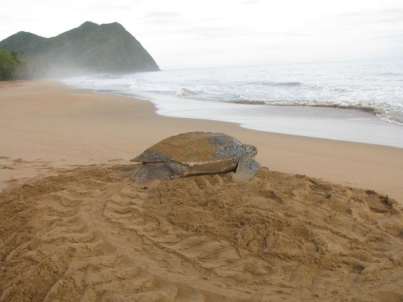 sea turtles costa rica jairo mora 1